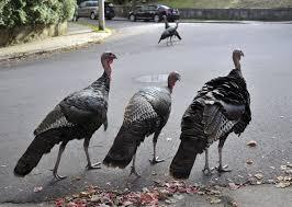 Image result for wild turkeys